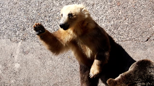 Orso giapponese
