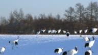 HD, NTSC: Japanese cranes (video)