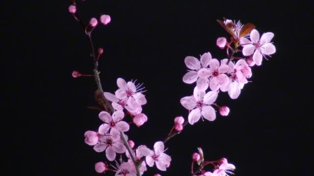 Japanese flowering cherry over black