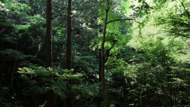 Foresta giapponese