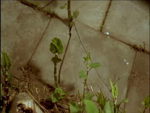 Japanese knotweed breaks through paving slabs in spring