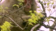 Japanese macaque high in tree eating new leaves, Mount Yarigatake, Nagano, Japan