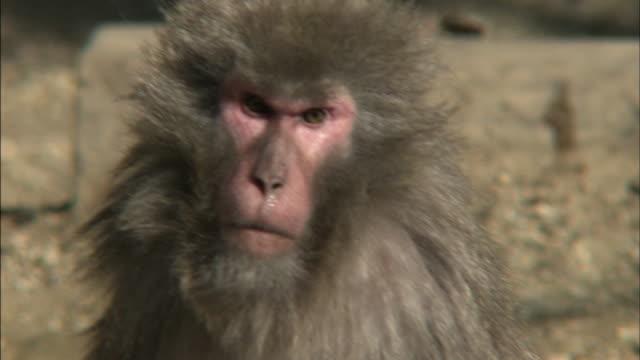 Japanese Macaque / Japan Monkey Park /Aichi