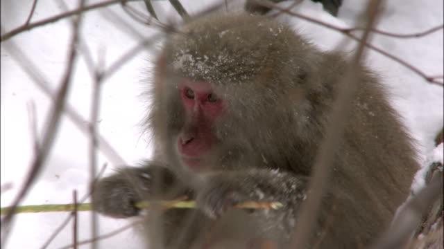 Japanese macaque nibbling bark from thin branch in snow, Mount Yarigatake, Nagano