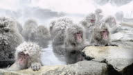 Japanese Macaques (Macaca fuscata) enjoy bath, Onsen of Jigokudani yaenkoen, Nagano Prefecture, Japan. Two look round together