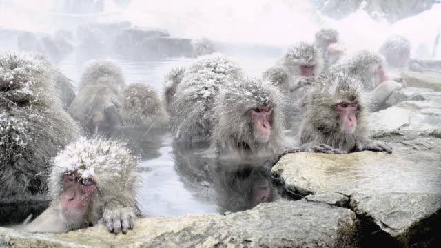Japanese Macaques (Macaca fuscata) enjoy bath, Onsen of Jigokudani yaenkoen, Nagano Prefecture, Japan. Two look round together