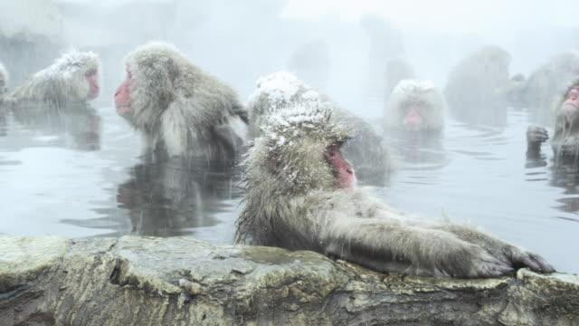 Japanese Macaques (Macaca fuscata) enjoy bath, Onsen of Jigokudani yaenkoen, Nagano Prefecture, Japan
