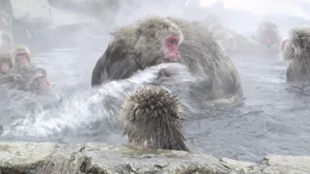 Japanese Macaques (Macaca fuscata) fight in thermal bath, Onsen of Jigokudani yaenkoen, Nagano Prefecture, Japan