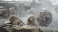 Japanese Macaques (Macaca fuscata) looking bit bored, enjoy bath, Onsen of Jigokudani yaenkoen, Nagano Prefecture, Japan