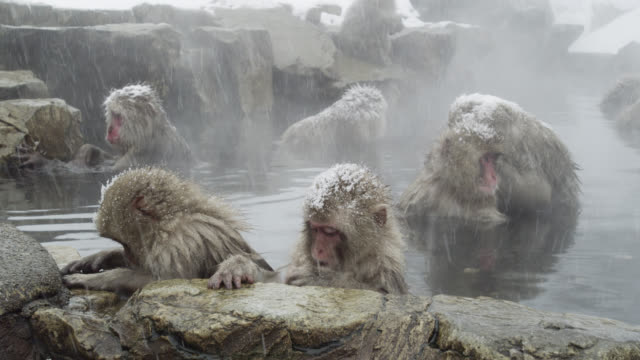 Japanese Macaques (Macaca fuscata) looking bit bored, enjoy bath, Onsen of Jigokudani yaenkoen, Nagano Prefecture, Japan