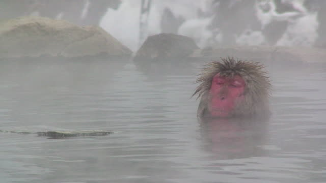 MS Japanese Macaques (Macaca fuscata) sitting in hot spring / Jigokudani, Nagano prefecture, Japan