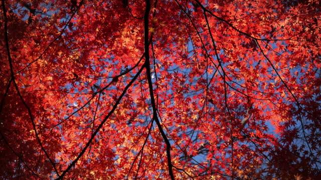 Japanese maple leaves in autumn moving slider shot at koishikawa korakuen gardens