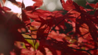Japanese maple tree (Acer palmatum) leaves in Autumn sunshine, Gloucestershire, England