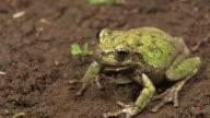 Japanese Tree Frog In Feeding