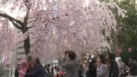 Japan's cherry blossom season kicks off boozy parties across the country and draws tourists from far and wide