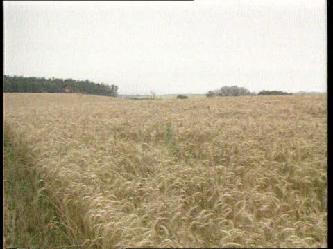 John Major Visit EXT USSR CS Ears of wheat TX Ukraine GV Wheat fields PAN RL ITN Kiev TMS Cows in field MS Tractor towards dropping food into trough...