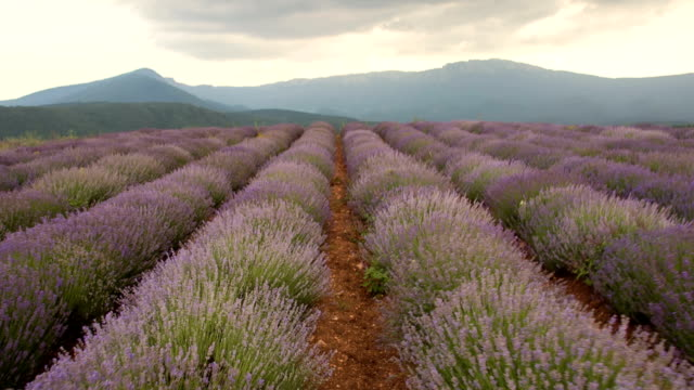 Journey through the lavender