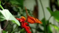 Julia butterfly feeding