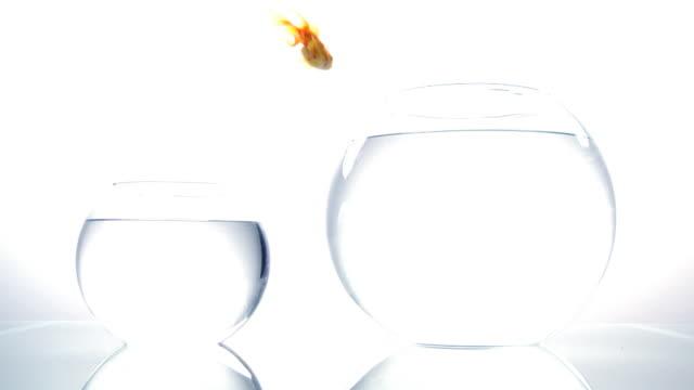 Gold Fische springen.