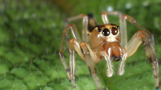 Jumping spider (family Salticidae)