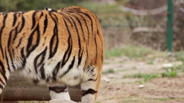Jumping tiger.
