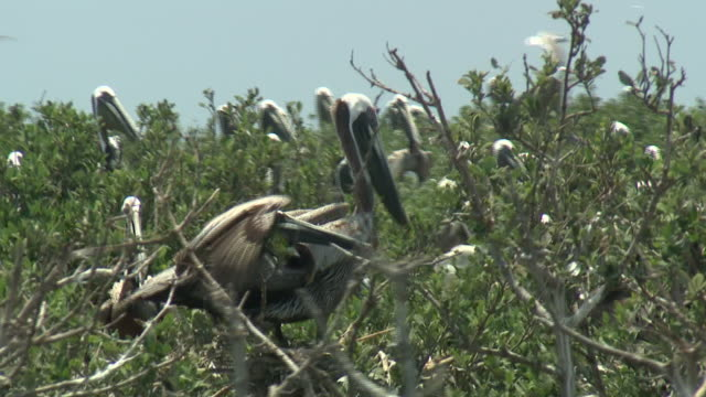 June 10 2010 ZI Pelicans and seabirds on oilsoaked shoreline near oil booms / Gulf of Mexico United States