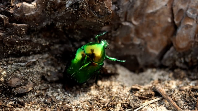 June beetle in the forest