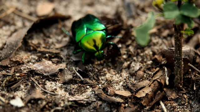 June beetle on the tree trunk