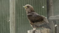 Juvenile bateleur eagle in aviary,