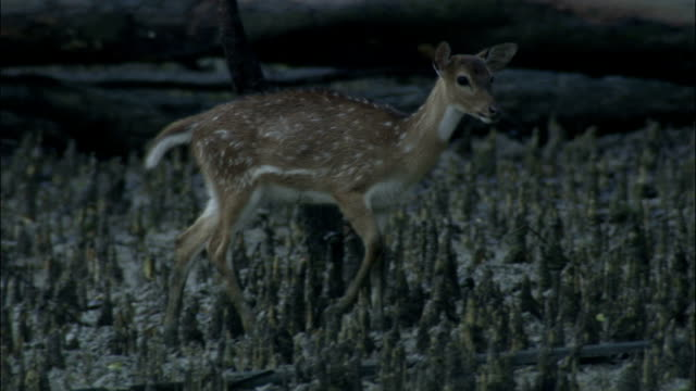 Juvenile deer walks towards mother through mangrove roots Available in HD.