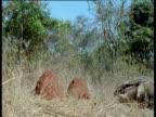 Juvenile Giant Anteater piggybacks on mother towards termite mound, Brazil