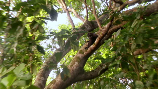 MS ZI Juvenile macaque eating in tree and jumping away / Sulawesi, Indonesia