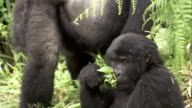 A juvenile mountain gorilla munches on while the other members of the band interact nearby. Available in HD.