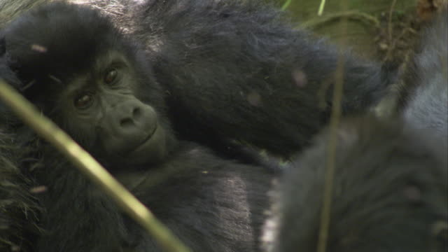 A juvenile mountain gorilla rests against other gorillas. Available in HD.