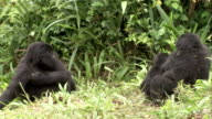 Juvenile mountain gorillas play in a clearing as an adult female watches. Available in HD.