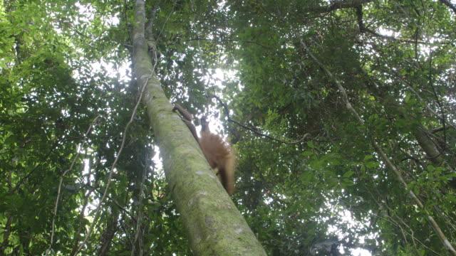 MS Juvenile orang utan in tree / Bukit Lawang, North Sumatra, Indonesia