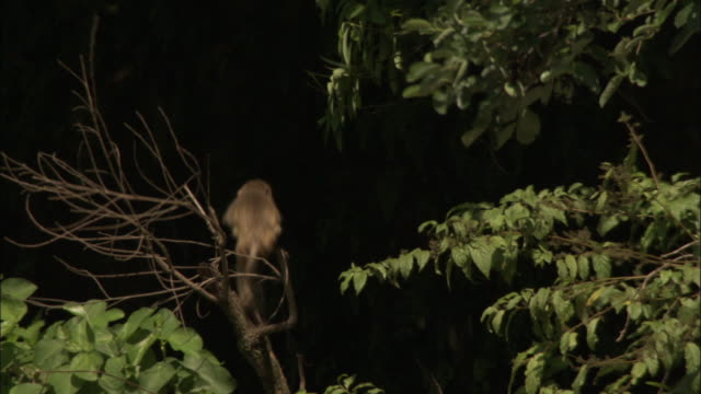 Juvenile rhesus macaque swings on branch of tree, Chopta India Available in HD.