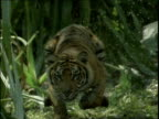 Juvenile tiger runs through jungle towards camera constantly keeping eye contact then stops in water and winks
