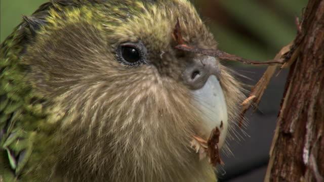 Kakapo (Strigops habroptilus) eats rimu tree bark, Codfish Island, New Zealand