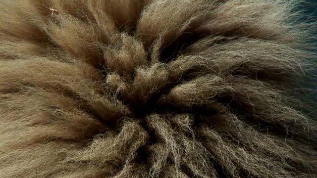 Kalahari Lion mane