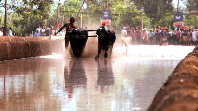 Kambala buffalo racing Karnataka, India