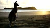 Canguro sulla spiaggia all'alba