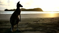 Kangaroo am Strand bei Sonnenaufgang