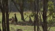 Kangaroos hop through trees.