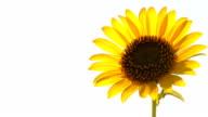 Kansas Sunflower HD