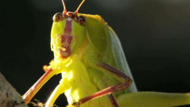 Katydid Bug