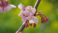 Kawazu zakura flower in Japan