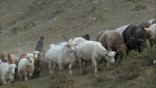 Kazakhs herd sheep and goats, Kalamaili Nature Reserve, Xinjiang, China