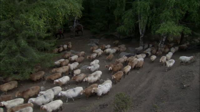 Kazakhs herd sheep through forest, Kalamaili Nature Reserve, Xinjiang, China