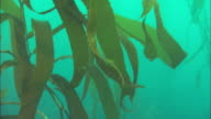 Kelp blades sway in the ocean's current. Available in HD.